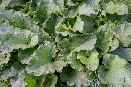 green burdock plant is large. Large bush of burdock Reklamní fotografie