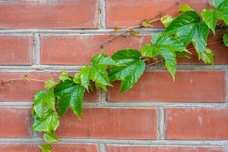 green branch of wild grapes on a brick wall