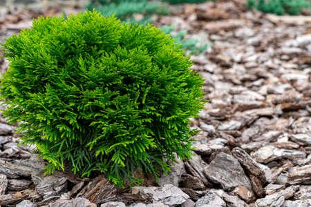 A small decorative bush. White cedar. Natural wood bark. Place for inscription