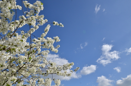 Flower of cherry tree and the sky Stock Photo