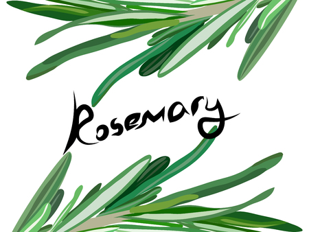 rosemary: rosemary background. Useful green herbs. delicious seasoning. tasty flavoring for food. Vector illustration Illustration