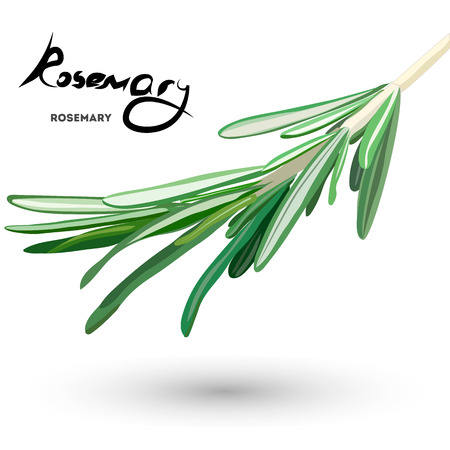 flavoring: rosemary banner . Useful green herbs. delicious seasoning. tasty flavoring for food. Vector illustration.