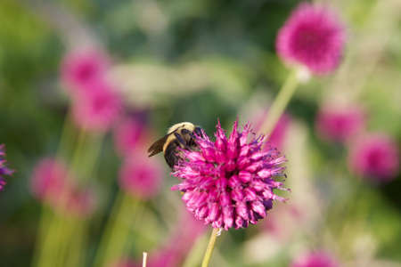 Clover with Bee Stock Photo - 10776680
