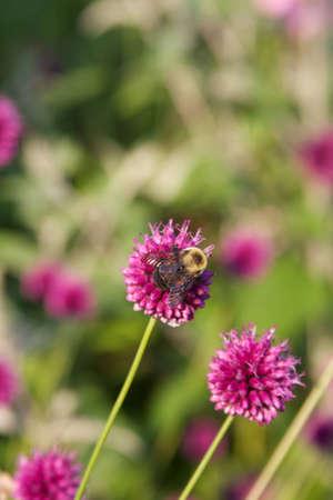 Bee on clover Stock Photo - 10776972