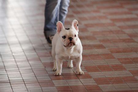 muffle: bulldog