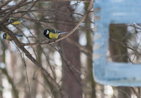 blue titmouse which obtains a feed Stock Photo