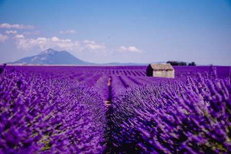 Lavender field Imagens