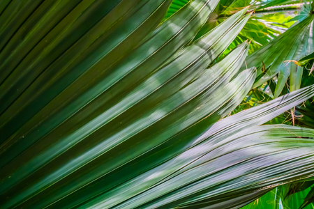 Bright green coconut  palm leaves closeup background Stock Photo