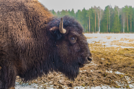 Bison, buffalo portrait in a National Park. Stock Photo