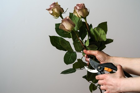 Florist hands cutting bunch of fresh pink roses. Stock Photo