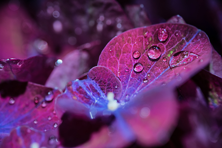 misterious: Magic purple violet hortensia hydrangea macro with a water drops Stock Photo