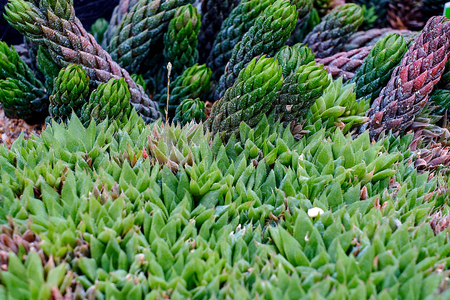 Haworthia tessellata cactus succulent plant leaf close up view on the rocky stone ground. Nice background texture. Stock Photo