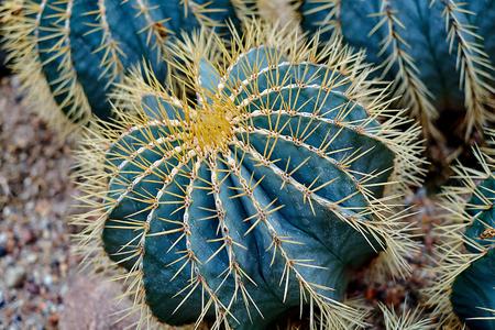 Round shaped cactus. Cactus decor. Cactus flower. Cactus desert. Cactus landscape. Cactus silhouette. Cactus Mexico. Cactus field. Cactus garden. Round cactus Mexico