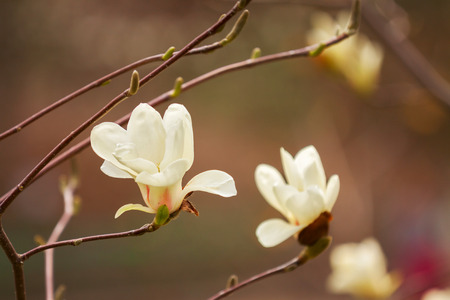 Magnolia tree blossom in springtime photo