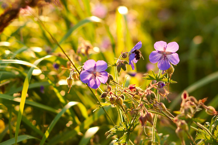meadow geranium photo