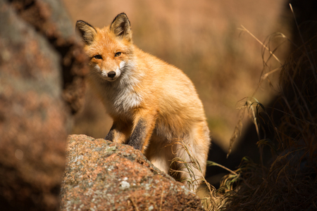 young red Fox in the wild Stock Photo