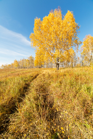 Big birch on a clear Sunny day in autumn. Krasnoyarsk region, Russia. Фото со стока