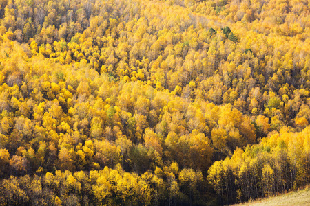 A top view of colourful forest trees in the autumn season. Krasnoyarsk region, Russia