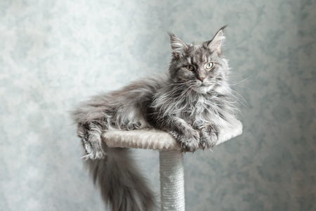 Beautiful gray Maine Coon cat lying on a stand