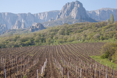 Vineyards at bottom of mountain in the Crimea