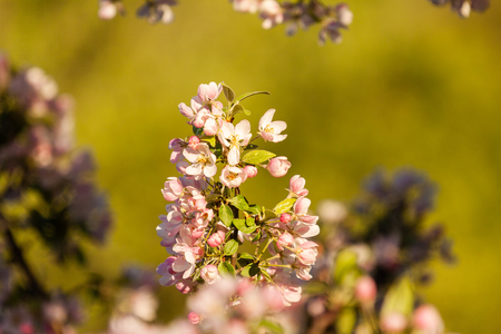 Beautiful spring blossom of apple cherry tree with pink flowers.