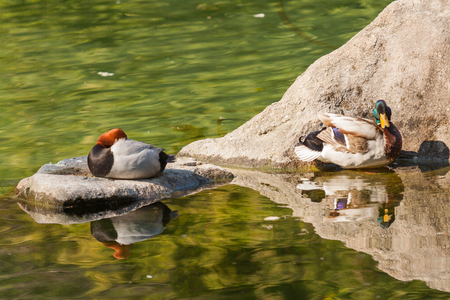 Mandarin duck swimming with another ducks on a pond.
