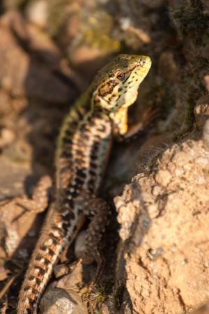 Real lizard sitting on a stone illuminated by sunlight. Фото со стока