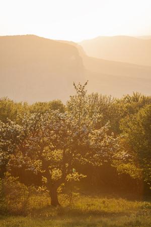 Apple trees garden in a golden light of sunset in Crimea.