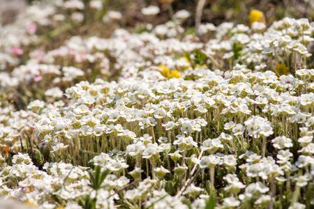 Primula bloom on a meadow glade. Primula flowers close-up. Фото со стока