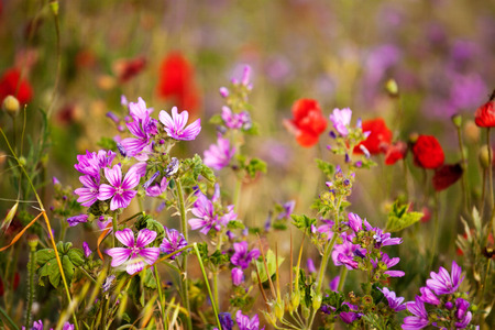 Beautiful meadow flowers. Malva and poppies close-up.