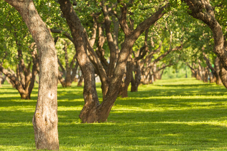 Garden of fruit trees in the spring in Kolomenskoye,Moscow,Russia. The picturesque garden. Beautiful Park. A bright Sunny day. The trees in the forest