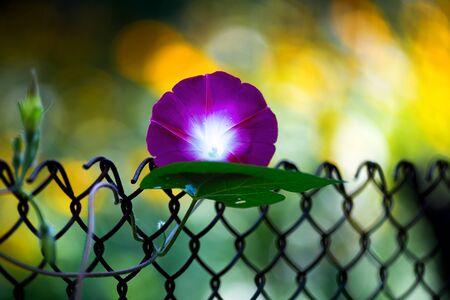 Beautiful purple flower of bindweed field