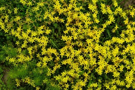 Beautiful, creeping on the ground, yellow flowers in the form of small stars - stonecrop or, as it is also called, sedum.