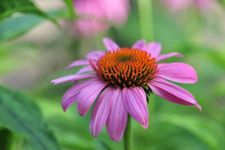 Purple coneflower, Echinacea purpurea, flowers in the garden, can be used in alternate medicine Stock Photo