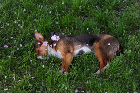 Beautiful dog in the park. dog sleeps on the grass. Petals of pink flowers fall on her from the sakura tree. Banco de Imagens