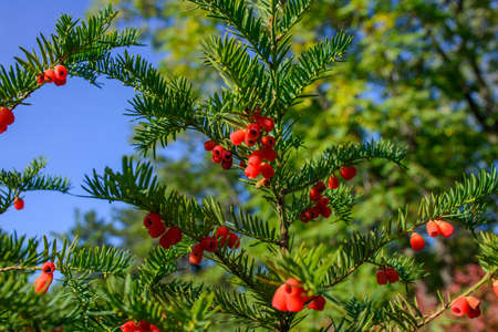 Red berries growing on evergreen yew tree in sunlight, European yew tree.