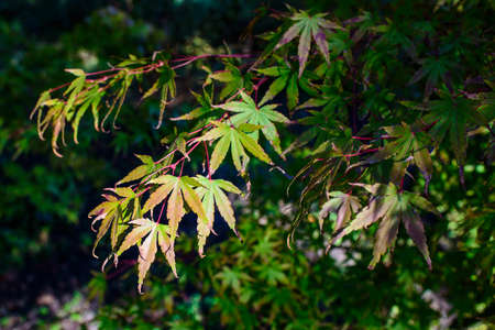 Beautiful Acer palmatum, palmate maple or smooth Japanese maple leaves.