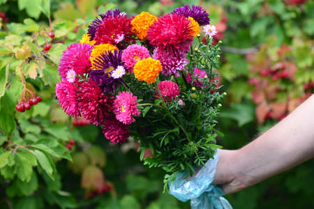 Bouquet of different chrysanthemums in the hand of a girl in nature. Banco de Imagens