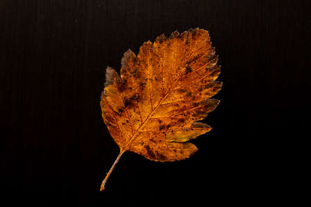 autumn leaf on a tree black background, top view. Banco de Imagens