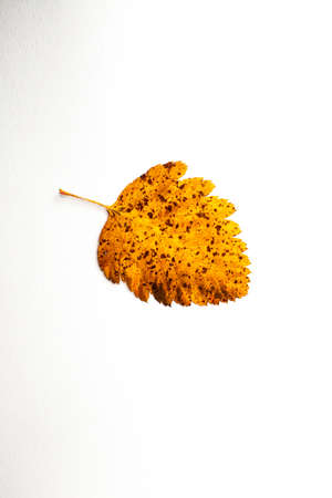 autumn leaf on a white background, top view