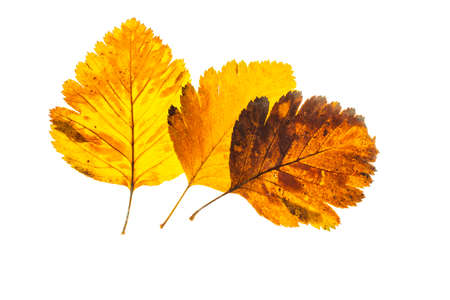 autumn leaf on a white background, top view. Banco de Imagens