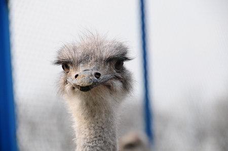 ostrich bird head front portrait in the park