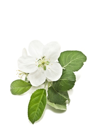 apple blossom isolated on white Stock Photo - 13566832