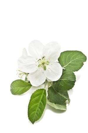 Fleur de pommier isolé sur blanc Banque d'images - 13566832