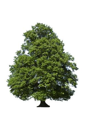 tilo: madera de roble �rbol verde sobre fondo blanco