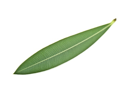 olive leaf on white background photo