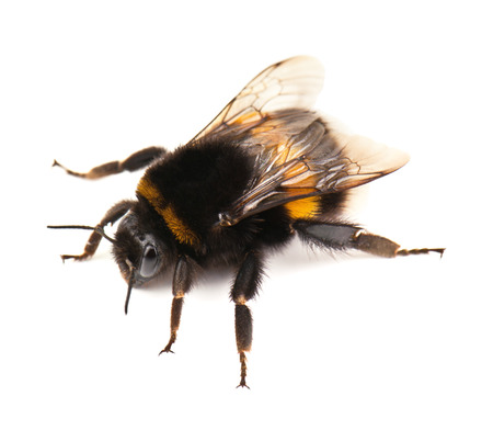live bumblebee on white background