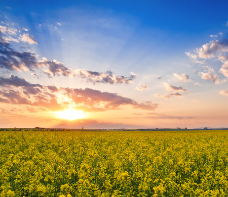 rape field on sunset in the photo photo