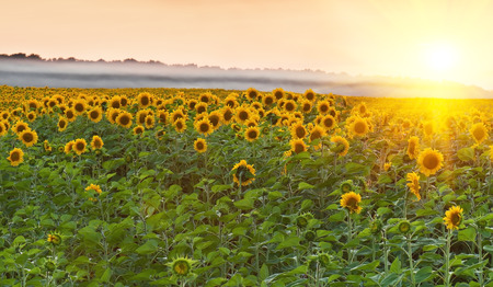 yellow sunflower field on sunset photo