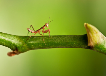 young mantis on a branch photo